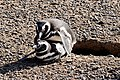 Penguin mating - panoramio.jpg