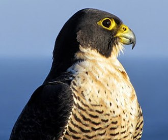 Peregrine falcon - Falco peregrinus. Royal National Park, New South Wales, Australia