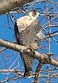 Peregrine falcon in CP (40978).jpg