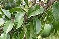 Pereskia grandifolia 35zz.jpg