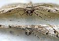 Peribatodes rhomboidaria - head macro (2006-06-03).jpg