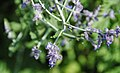 Perovskia atriplicifolia (Russian sage) 6 (49080740158).jpg
