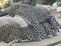 Persian Leopards mating.jpg