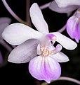 Phalaenopsis lindenii (wild Luzon, Philippines) Loher, J. Orchidées 6- 103 (1895) (33468334465) - cropped.jpg