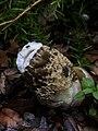 Phallus hadriani 59807088.jpg