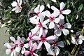 Phlox subulata Apple Blossom 6zz.jpg