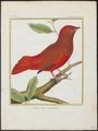 Phoenicircus carnifex - 1700-1880 - Print - Iconographia Zoologica - Special Collections University of Amsterdam - UBA01 IZ16600239.tif