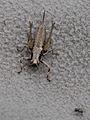 Pholidoptera griseoaptera - female (7125139263).jpg