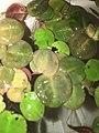 Phyllanthus fluitans clustering.jpg
