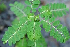 240px phyllanthus urinaria 03