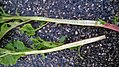 Phytolacca americana - longitudinal section of stem 04.jpg