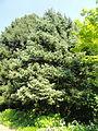 Picea asperata - Botanischer Garten, Frankfurt am Main - DSC03294.JPG
