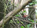 Picus Viridis on tree.jpg