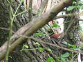 Picus Viridis on tree.jpg