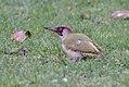 Picus viridis Schwetzingen 01.jpg