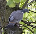 Pigeon (3519373208).jpg