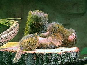 Pygmy marmoset - Pygmy marmosets live in groups of two to nine individuals.