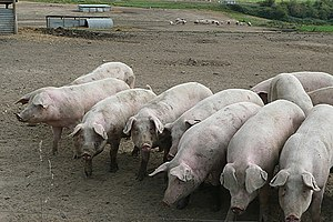 English: Pigs ready for feeding All these pigs...