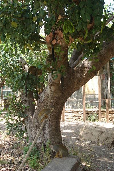 קופים על עץ