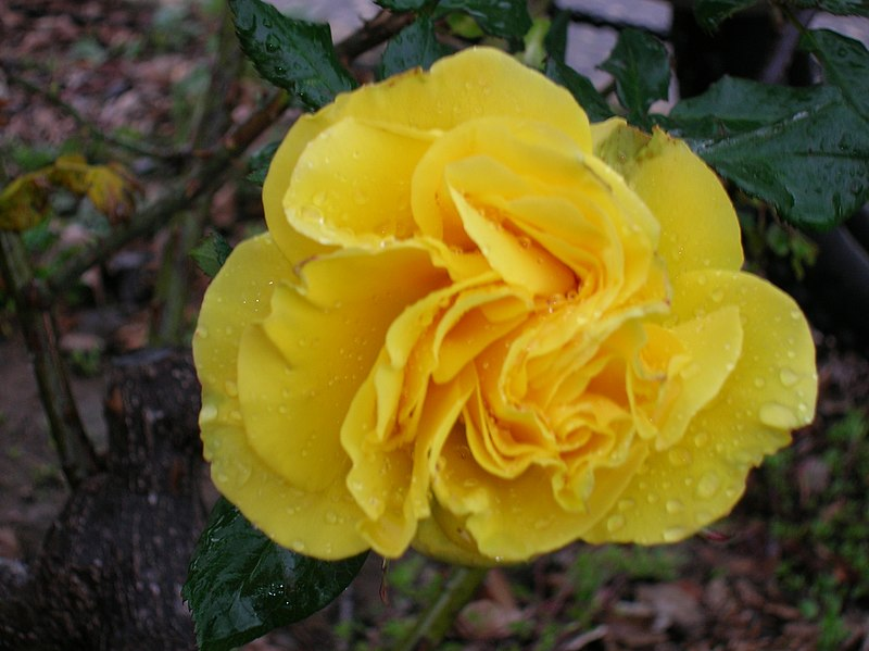 ורד צהוב
