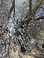 PikiWiki Israel 72829 ancient olive tree.jpg