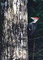 Pileated Woodpecker on Drummond Island.jpg