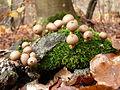 Pilze am Totholz 2.JPG