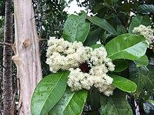 Piment flower