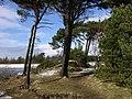 Pine Trees, Harlaw Reservoir - geograph.org.uk - 410678.jpg