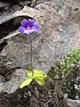 Pinguicula grandiflora 01.jpg