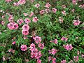 Pink and mauve flowers Da Lat.jpg