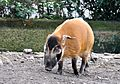 Pinselschwein Koelner Zoo 03.JPG