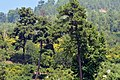 Pinus brutia - Kızılçam - Turkish pine 03.JPG