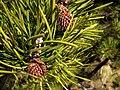 Pinus contorta 8160.jpg