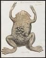 Pipa americana - 1700-1880 - Print - Iconographia Zoologica - Special Collections University of Amsterdam - UBA01 IZ11500275.tif