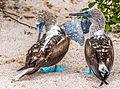 Piquero patiazul (Sula nebouxii), isla Lobos, islas Galápagos, Ecuador, 2015-07-25, DD 35 edited.jpg