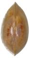 Pisidium pseudosphaerium 2.png