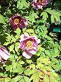 Piwonia drzewiasta Paeonia suffruticosa var. 2.jpg
