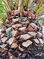 Plántulas de pino sobre Phoenix canariensis.jpg