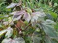 Plant, wild castor seed.JPG