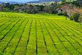 Plantaciones de te, cerca de Gdor. Virasoro.jpg