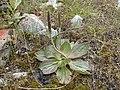 Plantago australis kz1.jpg