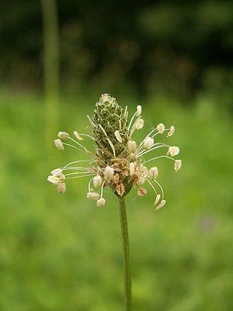 Host–parasite coevolution - Plantago lanceolata