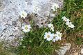 Plants from Vallon peaks Sella 18.jpg
