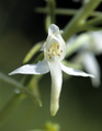 Platanthera chlorantha flower.png