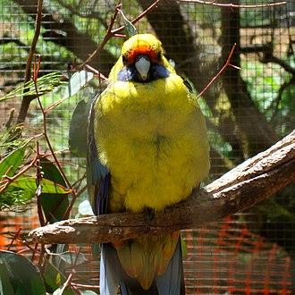 Rosella - Image: Platycercus caledonicus captivity 6 3c