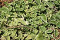 Plectranthus amboinicus Variegated 2zz.jpg