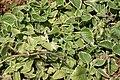 Plectranthus amboinicus Variegated 2zz.jpg