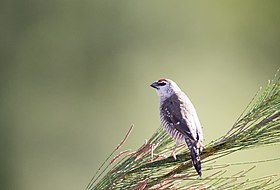 Plum Headed Finch 1 (17141412227).jpg