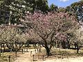 Plum blossoms in Shukkei Garden 1.jpg